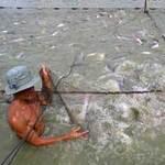 Thị trường - Tiêu dùng - Giá cá tra xuất khẩu tăng, dân vẫn lỗ