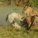Tin tức trong ngày - Clip: Cá sấu lên bờ hạ gục cả đàn sư tử
