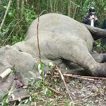 Tin tức trong ngày - Voi 4 tấn bị bắn chết, xẻ thịt ở Quảng Bình