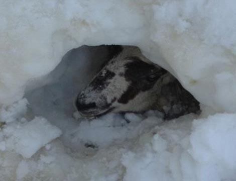 Cừu sống sót sau 11 ngày chôn vùi dưới tuyết - 1