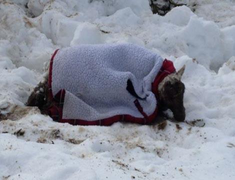 Cừu sống sót sau 11 ngày chôn vùi dưới tuyết - 2