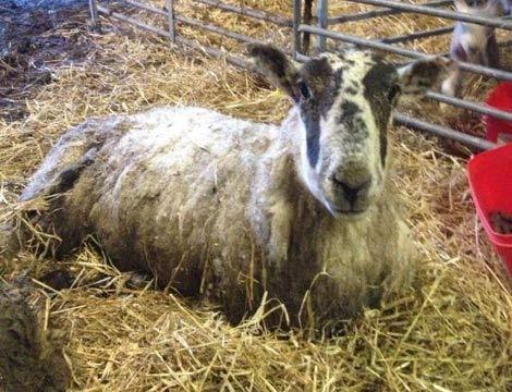 Cừu sống sót sau 11 ngày chôn vùi dưới tuyết - 3