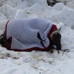 Tin tức trong ngày - Cừu sống sót sau 11 ngày chôn vùi dưới tuyết