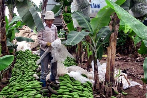 Theo 'người điên' trồng chuối, cả làng giàu to - 3
