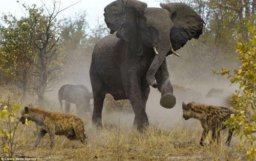 Cuộc hỗn chiến giữa voi và linh cẩu - 1