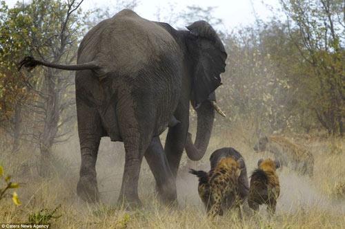 Cuộc hỗn chiến giữa voi và linh cẩu - 2