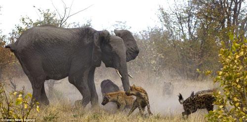 Cuộc hỗn chiến giữa voi và linh cẩu - 3