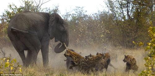 Cuộc hỗn chiến giữa voi và linh cẩu - 4