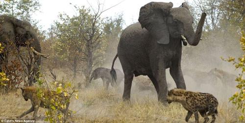 Cuộc hỗn chiến giữa voi và linh cẩu - 5