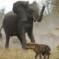Cuộc hỗn chiến giữa voi và linh cẩu