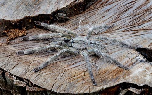 Ảnh đẹp: Loài nhện mới to như mặt người - 9