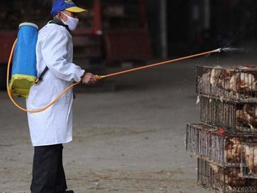 Dịch cúm A/H7N9: Chim khỏe, người chết - 1