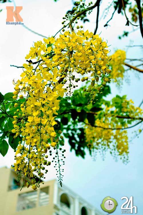 Đến Sài Gòn ngắm hoa hoàng yến - 7