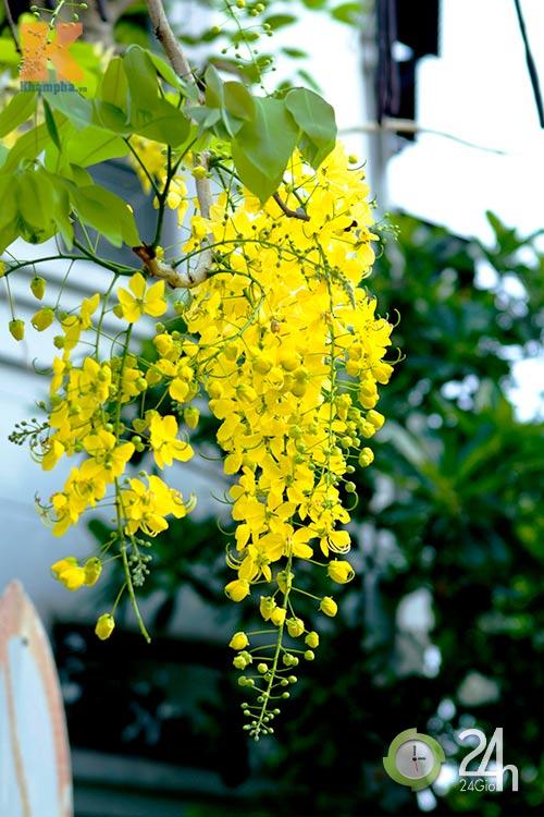 Đến Sài Gòn ngắm hoa hoàng yến - 3
