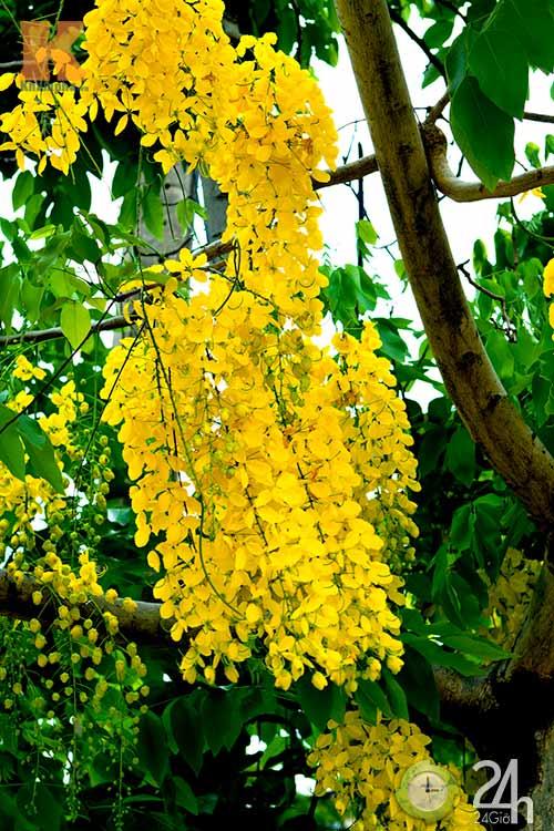 Đến Sài Gòn ngắm hoa hoàng yến - 6