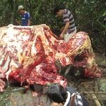"""Tin tức trong ngày - """"Hành quyết"""" voi rừng: Oan khuất chưa giải"""