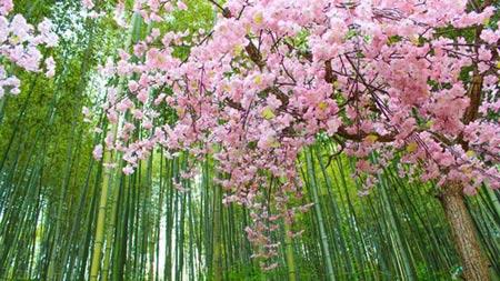 Vòng quanh thế giới tận hưởng sắc hoa anh đào - 5