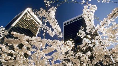 Vòng quanh thế giới tận hưởng sắc hoa anh đào - 7