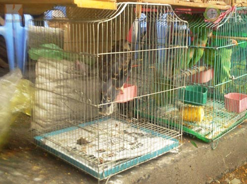 """Săn """"vua chim"""" tại Sài Gòn, Tin tức trong ngày, chim dai bang, thu choi chim dai bang, thu nuoi chim dai bang, nuoi chim dai bang, dong vat hoang da, chim dai bang san moi, thuan kieu, vua chim, bao moi, tin tuc, vn"""