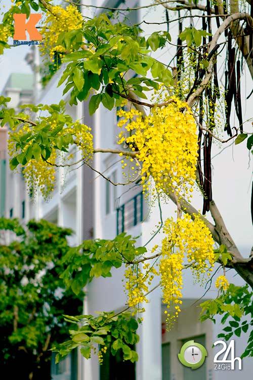 Đến Sài Gòn ngắm hoa hoàng yến - 5