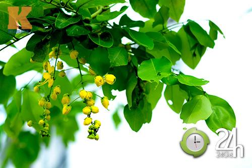Đến Sài Gòn ngắm hoa hoàng yến - 2