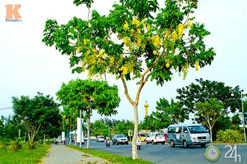 Đến Sài Gòn ngắm hoa hoàng yến - 1