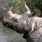Tin tức trong ngày - Sừng tê giác hoàn toàn không chữa được bệnh