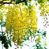 Đến Sài Gòn ngắm hoa hoàng yến