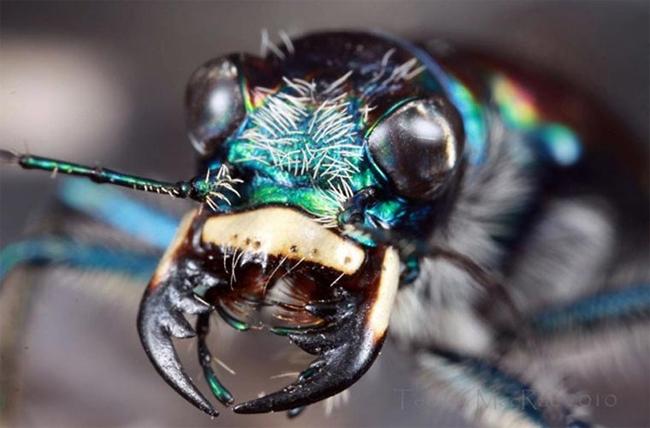 & #160;Tiger Beetle là một loài bọ nổi tiếng bởi tập quán hiếu chiến và khả năng chạy siêu nhanh, khoảng 9 km/h, nếu tính tới chiều dài cơ thể nó, thì tốc độ này tương đương với 770 km/h ở người. Với tốc độ và bộ hàm lớn, siêu khỏe, thức ăn chính của chúng là các loài côn trùng nhở và nhện. Chúng sống chủ yếu ở vùng Indo-Malay.