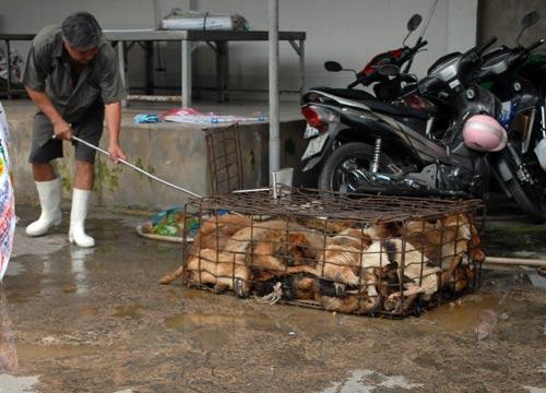 Bắt hơn 1 tấn heo, chó không rõ nguồn gốc - 1