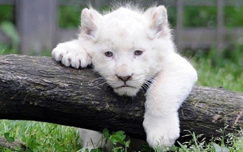 Ảnh đẹp: Mèo trắng bơi trong nước lũ - 2