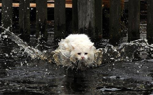 Ảnh đẹp: Mèo trắng bơi trong nước lũ - 5