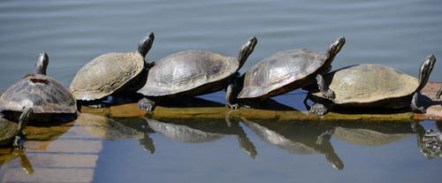 Ảnh đẹp: Rùa tắm nắng trên bờ hồ - 8