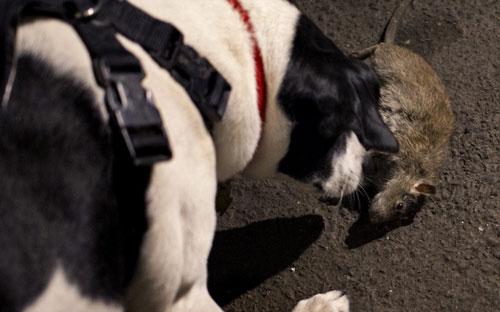 Mỹ: Huy động chó diệt chuột trên đường phố - 2