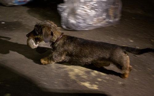 Mỹ: Huy động chó diệt chuột trên đường phố - 4
