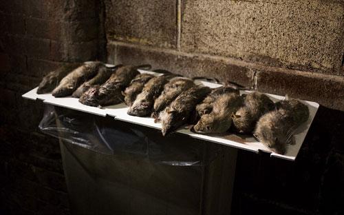 Mỹ: Huy động chó diệt chuột trên đường phố - 5