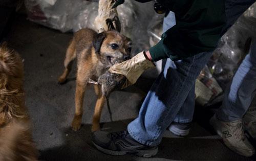 Mỹ: Huy động chó diệt chuột trên đường phố - 6