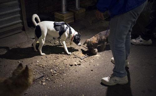 Mỹ: Huy động chó diệt chuột trên đường phố - 7