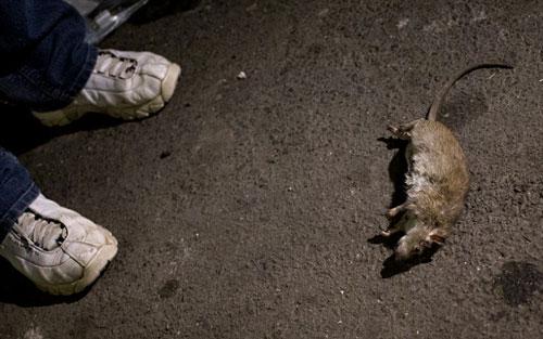 Mỹ: Huy động chó diệt chuột trên đường phố - 8
