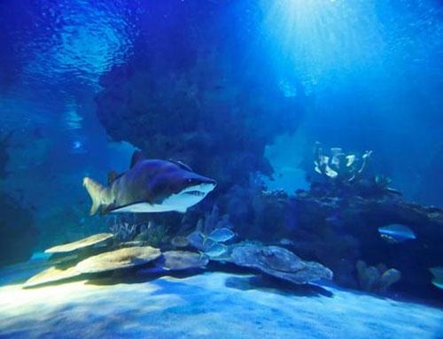 Bào thai cá mập hổ ăn thịt nhau trong bụng mẹ - 1