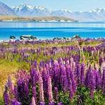 Du lịch - Ngắm thiên đường hoa lupine New Zealand