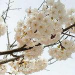 Ngắm mùa hoa nở rộ trên hòn đảo Jeju