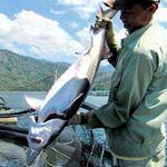 Thị trường - Tiêu dùng - Nghề nuôi cá tầm: Đối diện với cái chết?