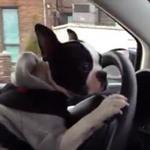 Phi thường - kỳ quặc - Thích thú xem chó lái xe điệu nghệ