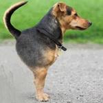 Tin vịt: Lai tạo giống chó mới