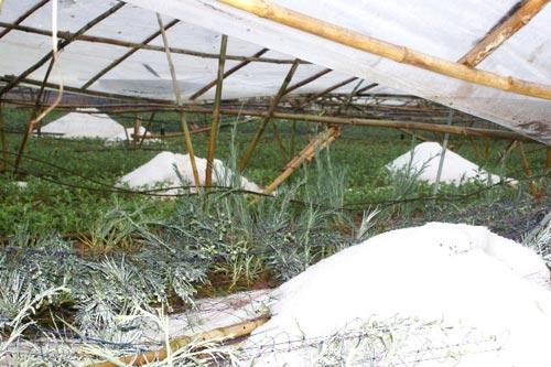 Chùm ảnh: Nhà vườn Đà Lạt tả tơi sau mưa đá - 8
