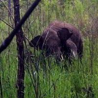 Giải cứu voi rừng dính bẫy thợ săn