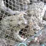 Thị trường - Tiêu dùng - Thu giữ gần 20 tấn cá, ốc, ếch lậu từ TQ