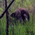 Tin tức trong ngày - Giải cứu voi rừng dính bẫy thợ săn
