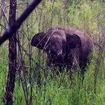 Tin tức trong ngày - Nỗ lực giải cứu voi rừng dính bẫy